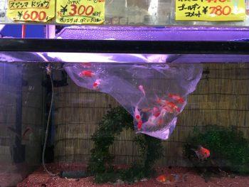 金魚のポンプなしの飼い方