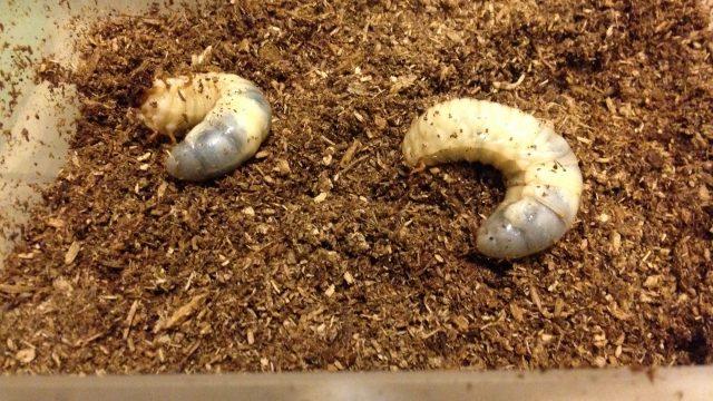 カブトムシ 幼虫 土の上 出て来る