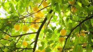 ハンユルの柚子の化粧品